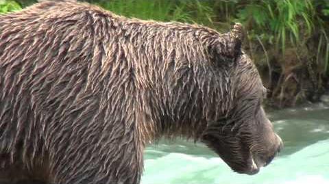 Katmai alaskan grizzly bear too close! 879? 2012 or prior video by Al Thompson