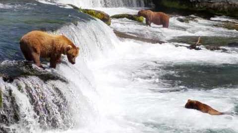 Niedźwiedzie w Parku Narodowym Katmai 868 Wayne Brother & 409 Beadnose on the lip video by Józef Bieńkowski
