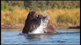 2 Adult Alaska Grizzly Bears Fighting Fall 2013 by Expeditions Alaska