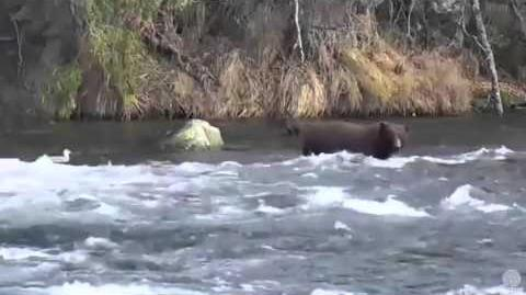 Bear 151 Walker being true to his name at Brooks Falls Katmai National Park 10 13 15 by Mickey Williams
