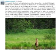 AMANDA THOMPSON COMMENT 2018.07.04 23.12 re 132 & 2 SPRING CUBS & DECEASED CUB 01
