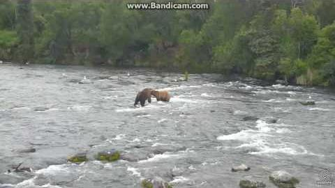 Bear 402 pursued by 51 Diver Jr, 856 and 83 Brooks Falls cam July 3, 2017 video by Erum Chad (aka Erie)