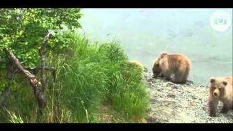 Katmai National Park,Alaska-Lower River,beautiful area mama bear & her cubs,7 4 13, video by eaglewhisperer18