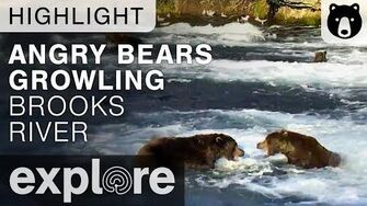 Two Bears Growl at Each Other - Brown Bear Live Cam Highlight 09.30