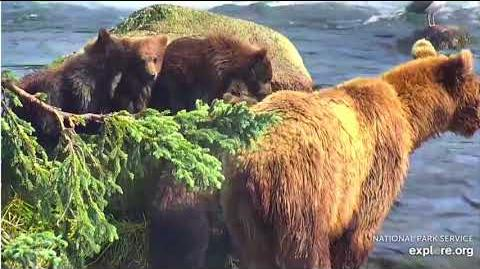 31 Jul 2018 402's Fab Four Watch Her Fish the Lip by Bear Watcher McKate