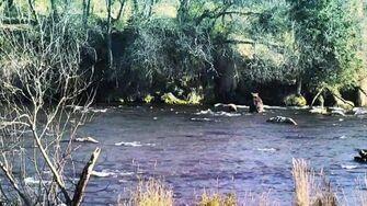 Brooks River Brown Bear 504, Katmai National Park, Alaska, video by GreenRiver-0