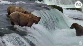 6 13pm 071216 775 lefty and 505 on the lip with 410 below Katmai National Park and Explore by Mickey Williams