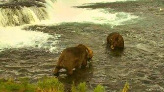 Otis, Brown Bear of Brooks River, Alaska 2017 Season by GreenRiver