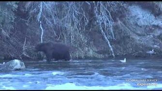 Scarred nose bear along the far bank, 10 21 2018. Video by Lani H