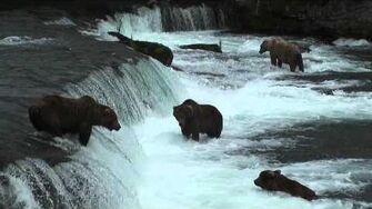 阿拉斯加 肯邁國家公園 棕熊等鮭魚 (周台珠拍攝) July 2010 by taichu99-0