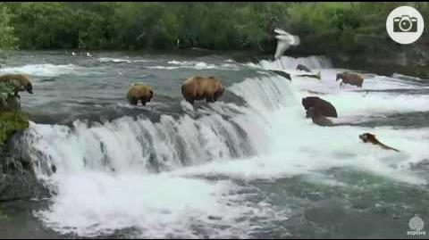 6 13 pm 071016 402's cub goes over the falls Katmai National Park and Explore by Mickey Williams