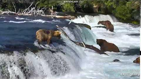 Bear 409 Beadnose fell into J Brooks Falls 2018 07 06 by Erum Chad (aka Erie)-0