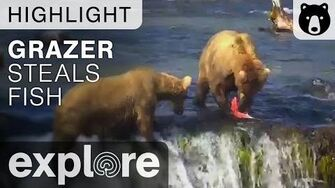 Grazer Steals A Fish - Brooks Falls - Live Cam Highlight Explore video published July 14, 2015