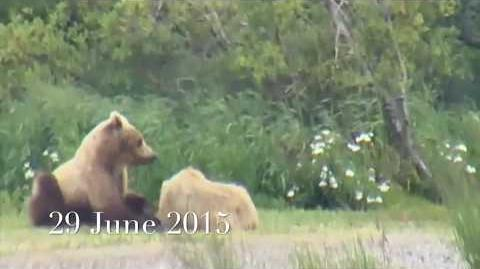 The Way We Are with 719, 503 Cubadult, 435 Holly and other Brooks River bears 06 29 2015 - 08 14 2017 video by DTB-0