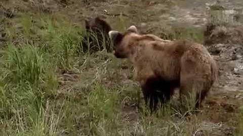 Katmai NP - Grizzly bear cubs by maninthegreyhat