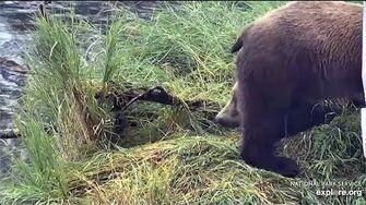 7 Aug 2020 39's Dark Cub is Male, video by mckate
