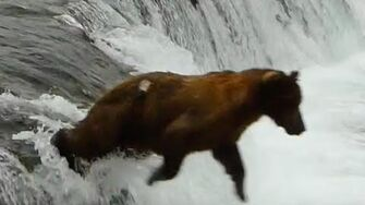 Bear belly-flop! Video by Mike Fitz