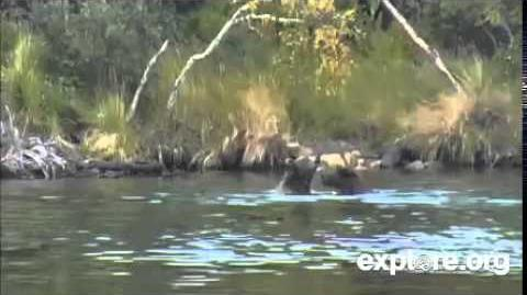 Katmai Park Bear Cam Chunk and Backpack Play Wrestling 09 05 2014 video by JBirdyHome