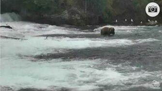 1 20pm 081016 32chunk displaces ???not 274 mystery bear Katmai National Park and Explore by Mickey Williams