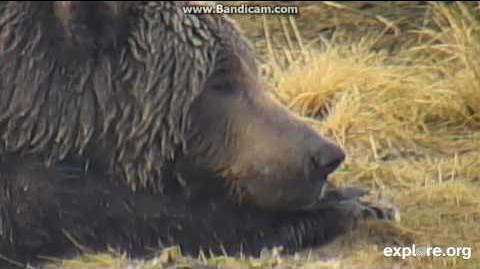 2014 10 24 Alaska KNP - A tired Bear ( 68 Rie's bear) Part 1 by Tzz Oha