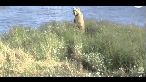 482 Brett with 3 spring cubs on grassy point