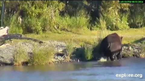 Bear 879 Bad to the Bone August 31, 2014 video by JoeBear