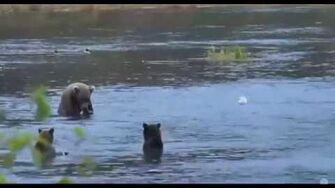 Nostril Bear with 2 Cubs 2015 09 20 10 39 47, video by Linda R