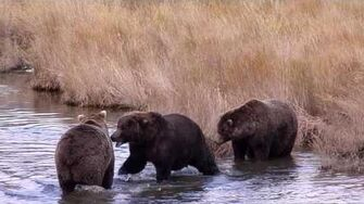 Three way play-fight between adult male bears October 4, 2014 68, 83 Wayne Brother & 868 Wayne Brother video by Mike Fitz-2
