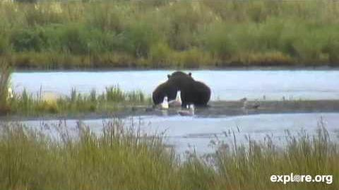Bear 879 Lower River August 27, 2014 video by Janie Nook