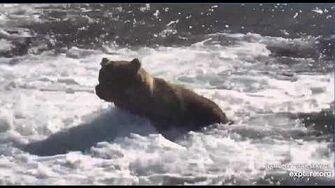 Bear 89 Back pack returns to Brooks Falls Katmai June 23, 2020, video by Erum Chad