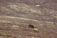 INFO BEARS SEEN 2015.05.20 or BEFORE RMIKE FEATURED COMMENT LR CAM 634 POPEYE & UNIDd FEMALE COURTING PIC 01 ONLY