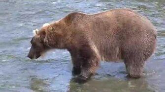 'Bear Necessities' at Katmai National Park, 2015 video by Madeleine Rose