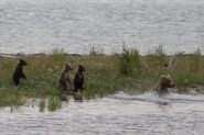 482 Brett and 3 spring cubs July 15, 2018 NPS photo by Ranger Russ Taylor.03
