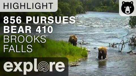 Bear 856 Pursues Female Bear 410 - Brooks Falls Alaska - Live Cam Highlight-0