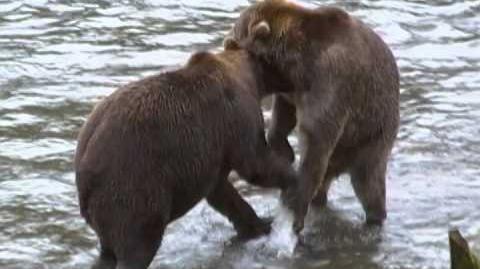 "Brown Bears ""wrestling"" - Brooks Lodge 2015 474 & 89 Backpack video by ytb53151"