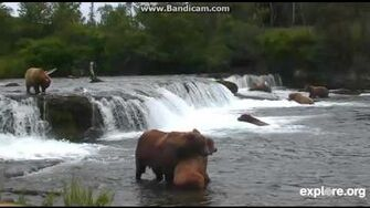 Explore org Bearcams Brooks Falls 07-12-2015 856 courting who (? 289 maybe) video by Martina-1