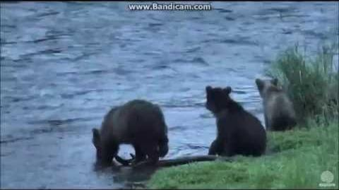 Grazer's Little Cub Swept Down River, August 6, 2016 video by Melissa Freels