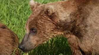 Meet Bear 856 - Bears of Brooks Falls by Mike Fitz, Resident Naturalist with Explore
