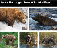 CC 408 INFO 2014 BoBr PG 50 BEARS NO LONGER SEEN PAGE TOP ONLY