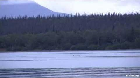 435 Holly returns to Brooks River with her biological spring cub and yearling, 503 Cubadult Ranger Mike goes live from the beach of Naknek Lake 09 05 2014 video by Tronwolverine