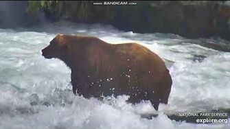 Closeups bear 480 Otis, ScareD , 747, 801, 503 2018 08 16 Brooks Falls Katmai, video by Erum Chad