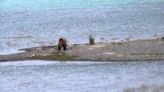 Female bear running on the beach, video by MSO Belle, 6 29 2015 or prior