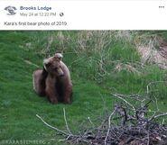 INFO BEARS SEEN 2019.05.xx WHO BL 2019.05.24 08.22 FB POST w KARA STENBERG PIC