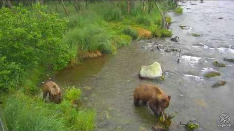 Sow and Single Cub, July 19, 2017 video by Melissa Freels