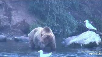 Unknown bear along log and path 7 27 2019, video by Lani H