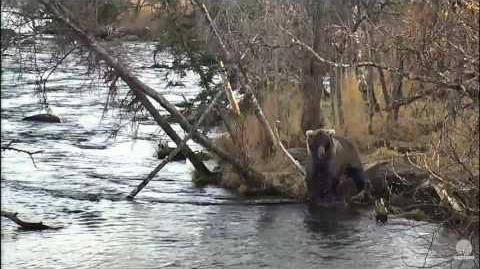Woops! Brooks Falls - Katmai National Park 274 Overflow video by Flyer 747 (aka SteveCA)
