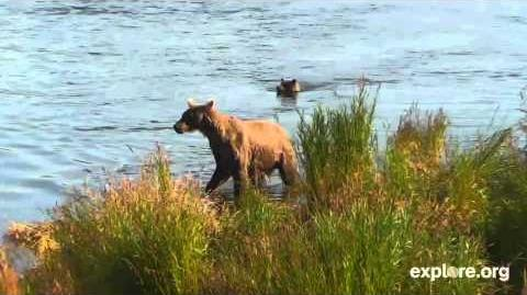 425 Jan with her spring cub, video by cam viewer, Ms