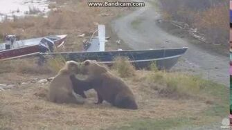 Katmai 273 and Velcro Bear Hug Wrestling 10 8 16 by LuvBears (273 & 809)