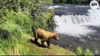 12 47 pm 07 13 2016 overflow 274 Overflow catches a fish Katmai National Park and Explore by Mickey Williams