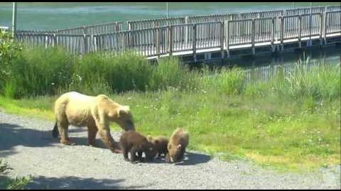 4 42 pm Grazer 128 & 3 cubs June 21, 2016 Katmai National Park and Explore by Mickey Williams